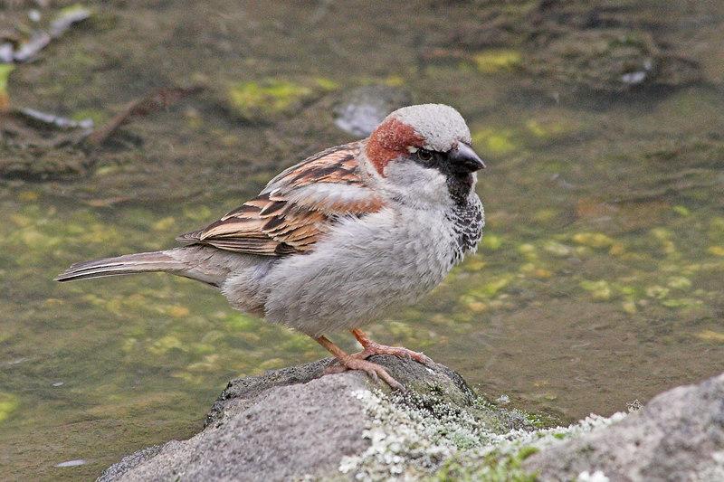 This bird was having a bath in the Japanese garden.