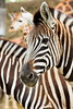 Zebras. WIth a giraffe peeking over the top from behind.