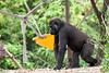 A gorilla. Walking past a hammock.