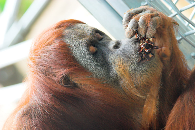 """The new Orang Utan reserve was opened only a week before we visited.<br /> <br />  <a href=""""http://www.zoo.org.au/newspage.cfm?p=1072"""">http://www.zoo.org.au/newspage.cfm?p=1072</a>"""