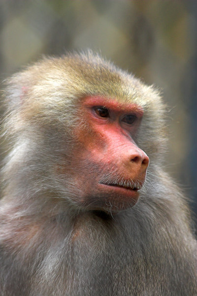 This Baboon looks like someone has trimmed his moustache.