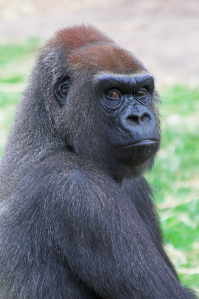 """The scientific name of this animal is """"Gorilla Gorilla Gorilla"""". I think that means it is a Gorilla.<br /> <br /> Actually, it's a sub species, also known as the Western Lowland Gorilla."""
