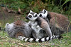Lemurs! The Lemur exhibit was new since the last time we visted the Zoo. The Lemurs now have their own island: Lemur Island.