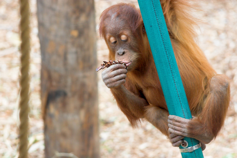 This young Orang Utan has an impressive pipe swing. It managed to throw its weight about to increase the swing of the pipe it was hanging from until it swung high enough to hop off at a platform near a viewing window.