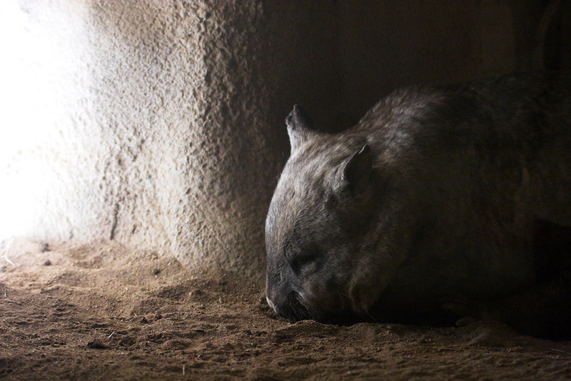 There were two places for viewing wombats: above ground and below ground. (In case it's not obvious, this is a below ground view.)
