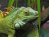 Some sort of Iguana in gloriously false colours.<br /> The camera did not like the artificial lighting in the enclosure.