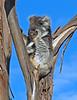 Itchy Koala