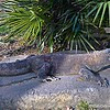 """January 30, 2016 <br /> <br /> """"KOMODO DRAGON""""<br /> <br /> """"Always speak politely to an enraged Dragon."""" ~ Steven Brust<br /> <br /> Photographed from behind glass......<br /> <br /> Komodo dragons are the largest lizards in the world. They can grow to be over 10 feet long and weigh over 300 lbs. Despite their large size, they are agile climbers and swimmers. My hubby says he once saw a komodo dragon attack a man on the """"Discovery Channel."""" Check out those fingernails and toenails. Yuck and yikes!!!!<br /> <br /> Memphis Zoo<br /> 2000 Prentiss Place<br /> Memphis, TN<br /> Official website:  <a href=""""http://www.memphiszoo.org"""">http://www.memphiszoo.org</a><br /> <br /> My Homepage:  <a href=""""http://www.GodsChild.SmugMug.com"""">http://www.GodsChild.SmugMug.com</a>"""