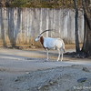 """January 30, 2016<br /> <br /> SCIMITAR-HORNED ORYX<br /> <br /> The scimitar-horned oryx is named for its long, curved horns. These animals can sense rain from far away. They will travel up to fifty miles to feed on the fresh vegetation sprouted from a rain shower.<br /> <br /> Memphis Zoo - 2016<br /> 2000 Prentiss Place<br /> Memphis, TN 38112<br /> <br /> Official website is here: <br /> <br /> <a href=""""http://www.memphiszoo.org"""">http://www.memphiszoo.org</a>"""