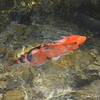 """April 8, 2017<br /> <br /> Koi Fish<br /> <br /> """"MEMPHIS ZOO"""" 2017<br />  2000 Prentiss Place<br />  Memphis, TN 38112 <br /> <br />  Official website is here: <br /> <br /> <a href=""""http://www.memphiszoo.org"""">http://www.memphiszoo.org</a>"""