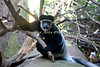 Black & White Colobus Monkey