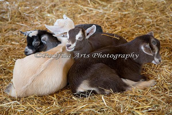 Baby Goat pile.