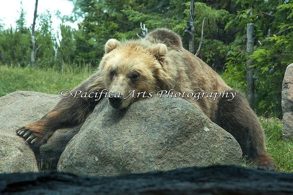 Brown Bear, aka Grizzly Bear - innocent