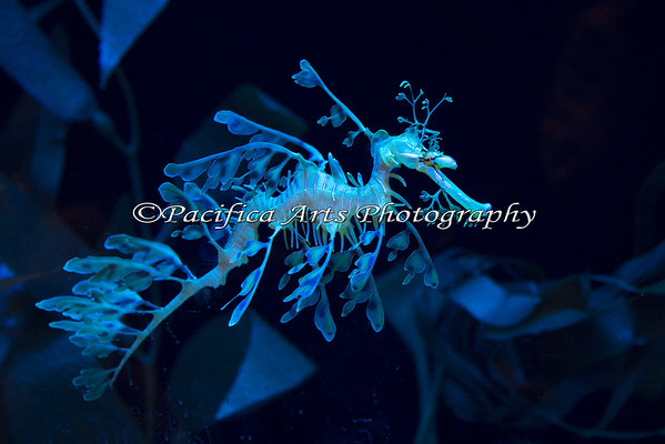 Leafy Sea Dragon.  This is a cool animal!