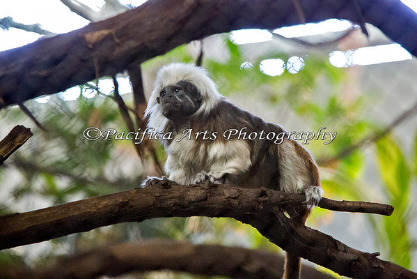 Cottontop Tamarin. Rock star!
