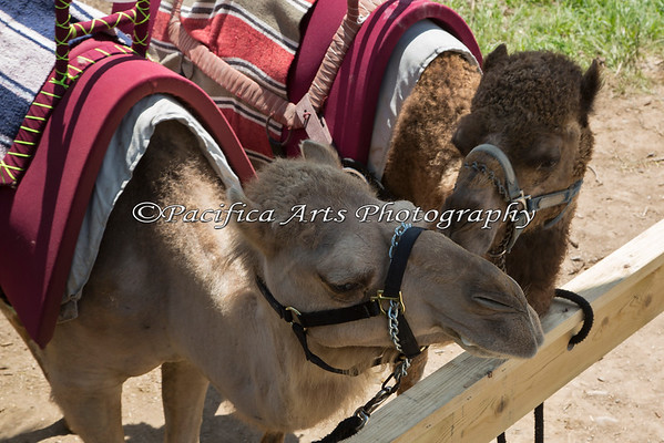 Bactrian Camels in the shade.