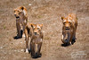Lionesses at Monarto