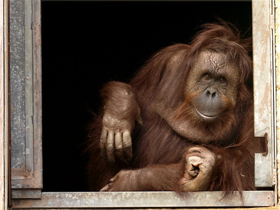 Gazing out the window is Lucy, an orangutan born at the National Zoo in 1973.
