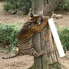 Gunter attacked the problem from another angle! Smart tiger!