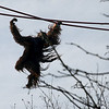 "Kiko swings from arm to arm on the O Line. The zoo web page calls it ""brachiating."" I think Kiko calls it ""fun."""