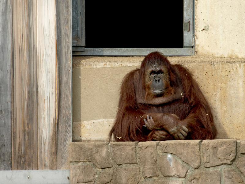 Orangutan Lucy enjoys a quiet spell on the porch.