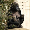 Western Lowlands Gorilla Mandara keeps a watchful eye on the photographers as she feeds her new baby.