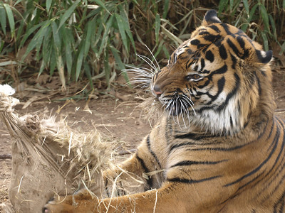 Gunter, a young Sumatran Tiger, discovered a bag of hay. It was delicious!