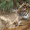 Gunter, a young Sumatran Tiger, discovered a bag of hay. It was delicious!