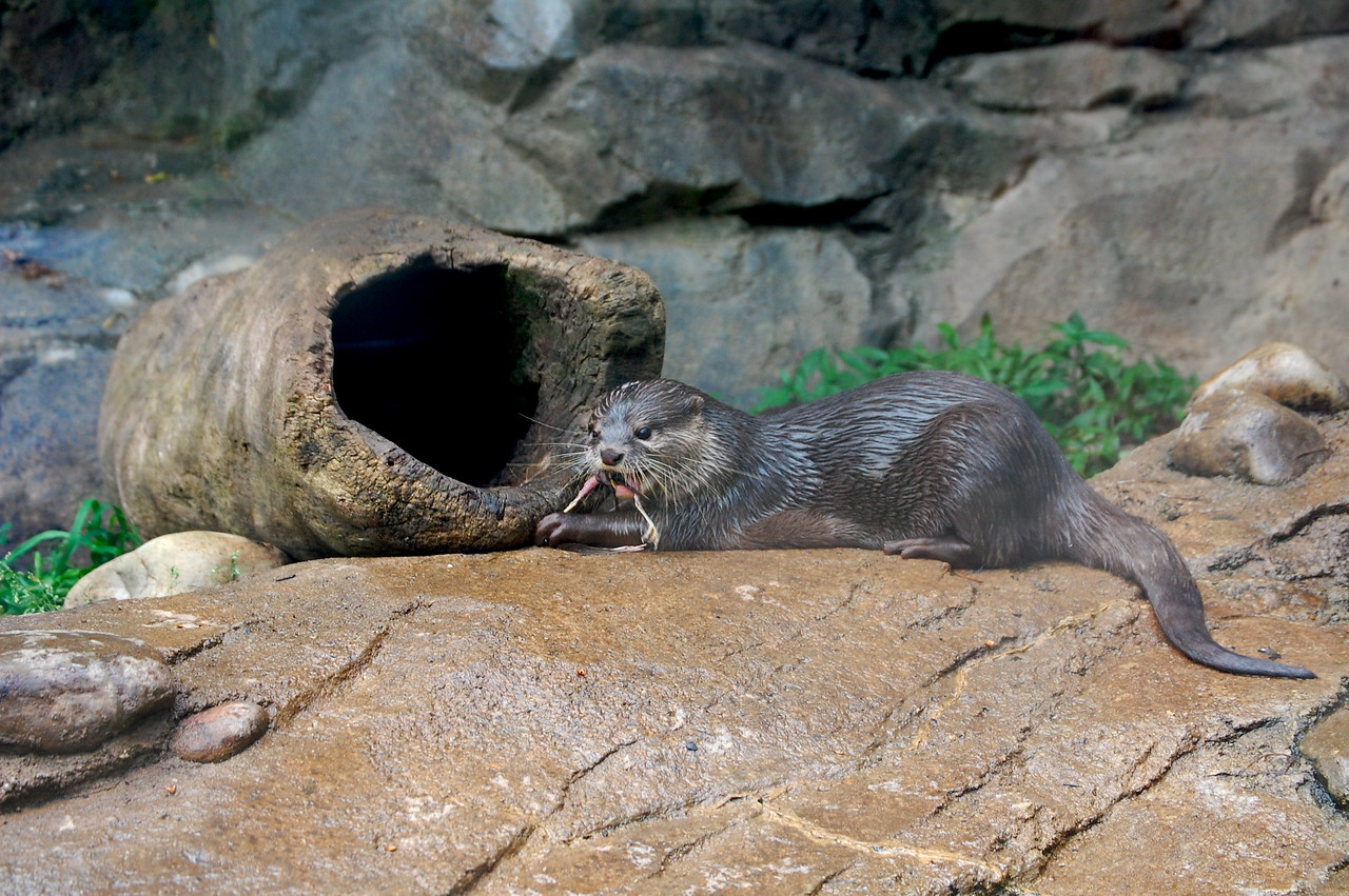 This otter caught a small bird that landed in the enclosure.