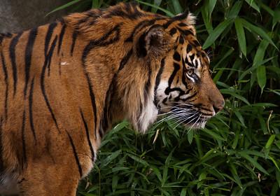 tiger_7910
