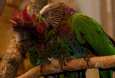 red parrots_7795