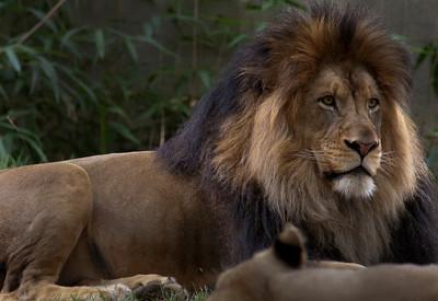 lions_7935