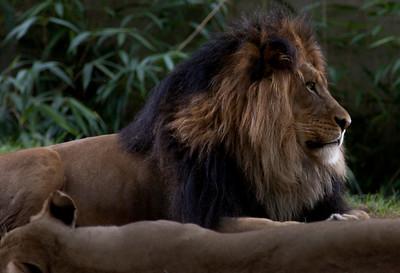 lions_7925