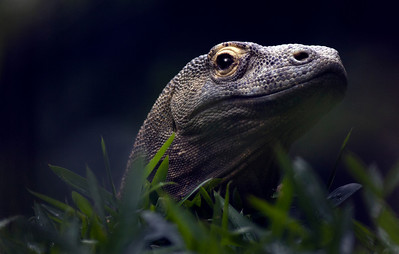 komodo dragon_7840