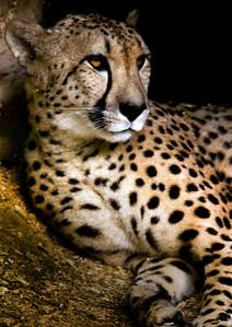 cheetah_7760