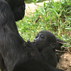 Kibbibi the Western Lowland Gorilla, with Mom.