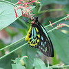 Ornithoptera priamus poseidon.  Birdwing Butterfly.  Male.