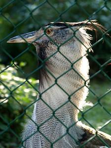 Bustard,  National Zoo, Washington, DC, September 7, 2008.