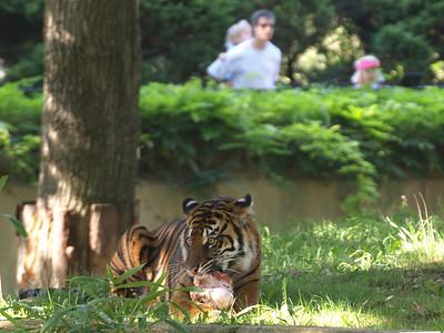 Tigress,  National Zoo, Washington, DC, September 7, 2008.