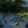 Frog and lily,  National Zoo, Washington, DC, September 7, 2008.