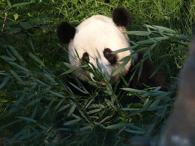 Giant Panda Tai Shan,  National Zoo, Washington, DC, September 7, 2008.