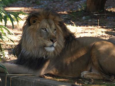 Lion, Luke,  National Zoo, Washington, DC, September 7, 2008.