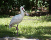 African Spoonbill striking a pose.