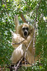 """Gasp!""  <br />  White-handed (Lar) Gibbon - female"