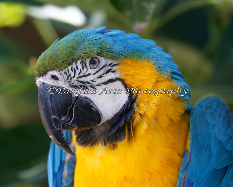 Blue & Gold Macaw.  I see some green in there too!