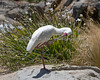 African Spoonbill - large beak, small feet.