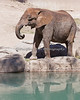 African Elephant near the waterhole.s