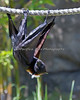 Island Flying Fox Bat