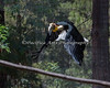 Malayan Wreathed Hornbill in flight