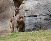 """Faster, Mom, Faster!""  (Hamadryas Baboons)"